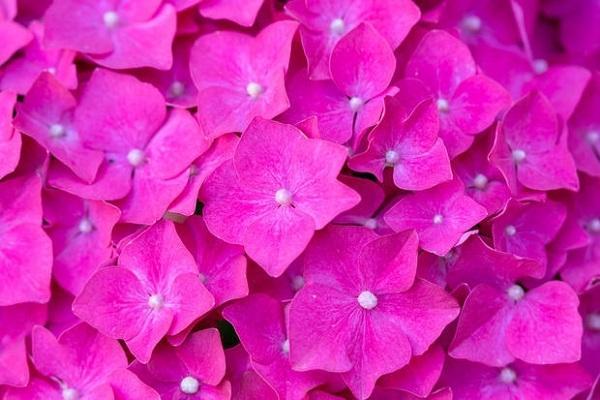 Fiori rosa di Ortensie rampicanti