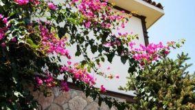 Bouganville: consigli per la coltivazione ottimale della pianta