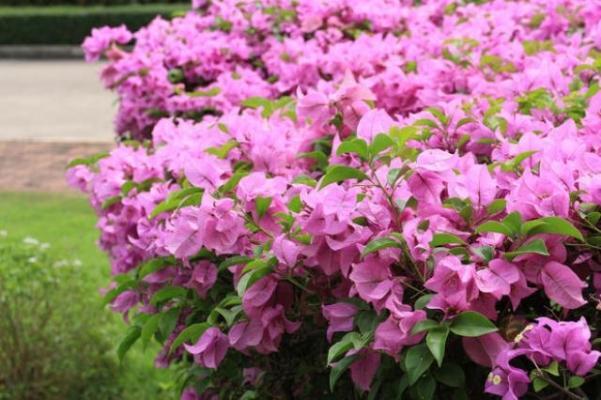 Coltivazione delle bouganville for Bouganville fioritura