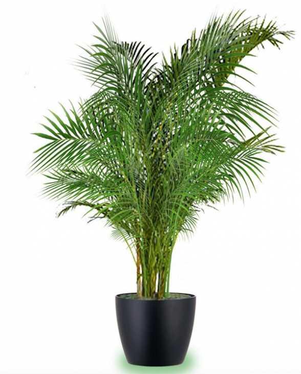 Areca Palm, per un'aria più pura in casa