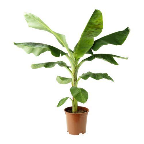 Banano nano, un utile alleato contro l'inquinamento indoor