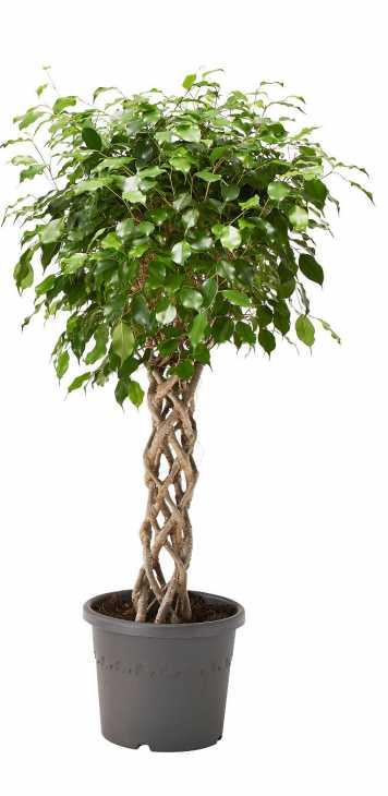 Ridurre l'inquinamento indoor con le piante: Ficus Benjamina