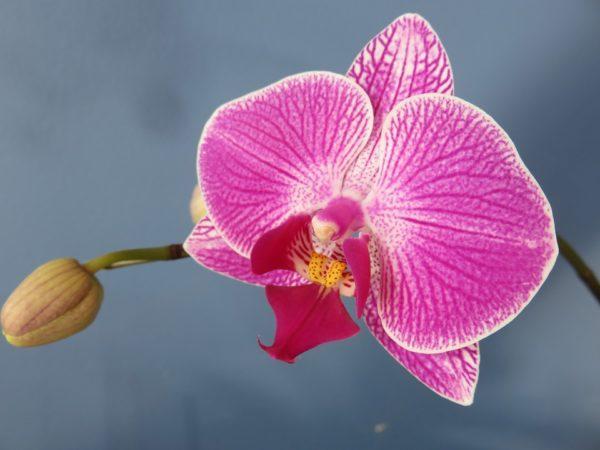 Piante che purificano l'aria - Orchidea Falena