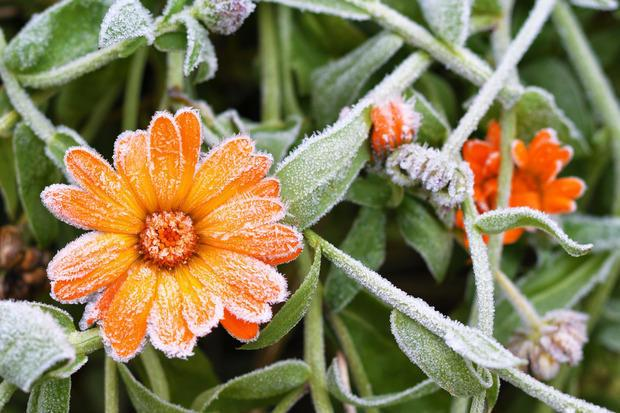 Calendula, che fiorisce anche d'inverno
