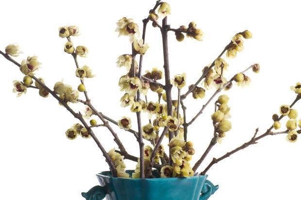Calicanto, fiore invernale profumatissimo