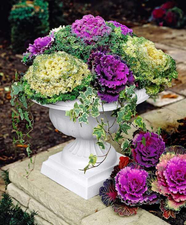 Cavolo ornamentale, per un balcone fiorito d'inverno, da bakker.com