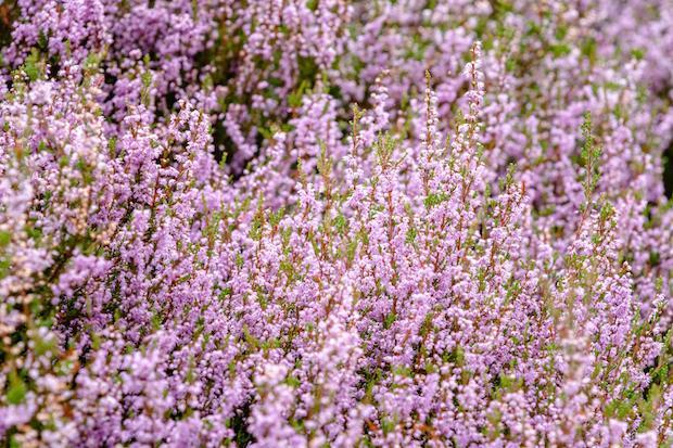 Erica, fiore simbolo dell'inverno