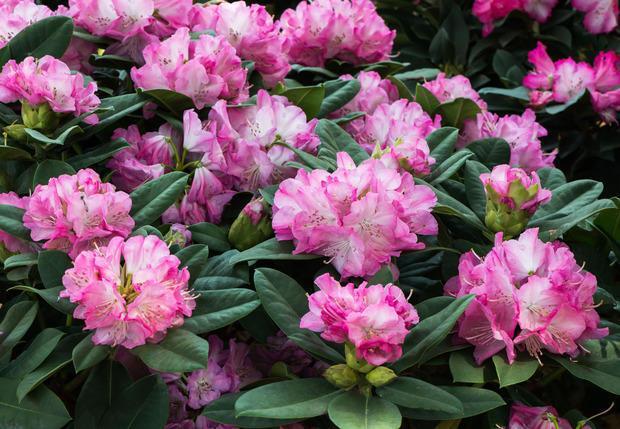 Rododendro, fiore da piantare d'inverno
