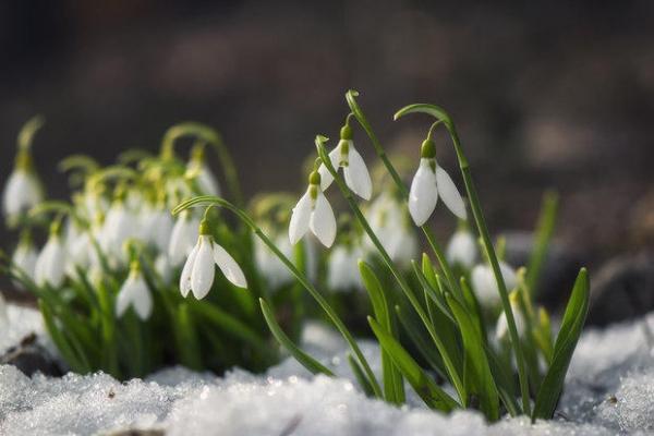 Bucaneve, il fiorellino di fine inverno