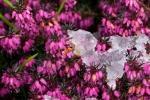 Erica, il fiore invernale per eccellenza
