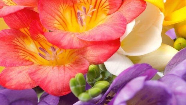 Come curare e coltivare le profumatissime fresie