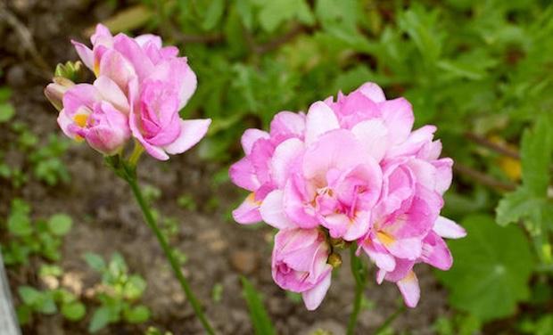 Coltivazione delle fresie in giardino