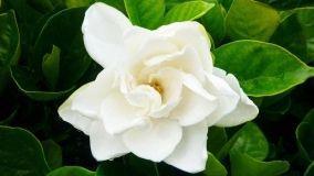 Gardenia: come coltivarla in giardino