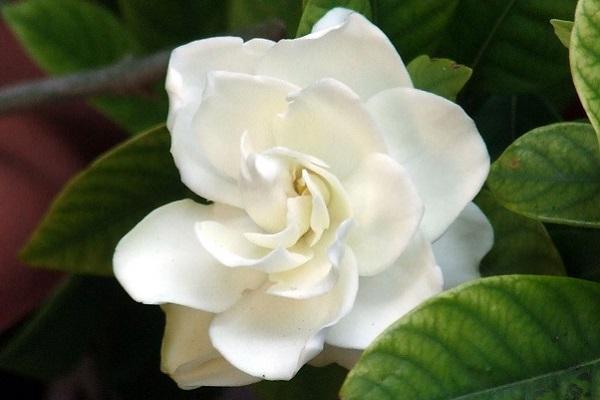 Bocciolo di gardenia bianca