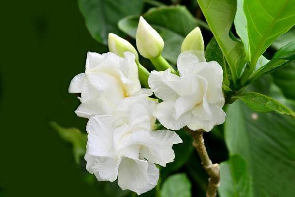Mazzetto di Gardenia bianca