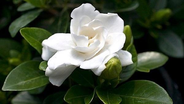 Gardenia come coltivarla in giardino - Gardenia pianta da giardino ...