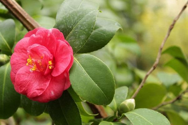 Bocciolo di Gardenia rosa