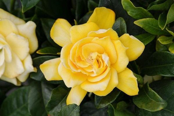 Bocciolo di Gardenia gialla