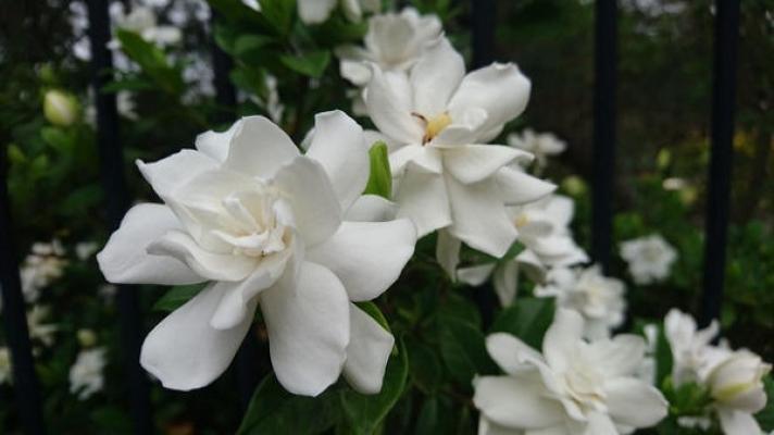 Fiori di Gardenia bianca