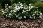 Cespuglio di Gardenia bianca in giardino