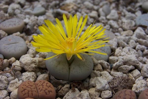 Pianta grassa con fiore Lithops