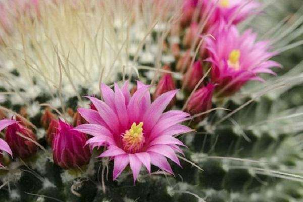 Pianta grassa con fiore Mammillaria Spinosissima