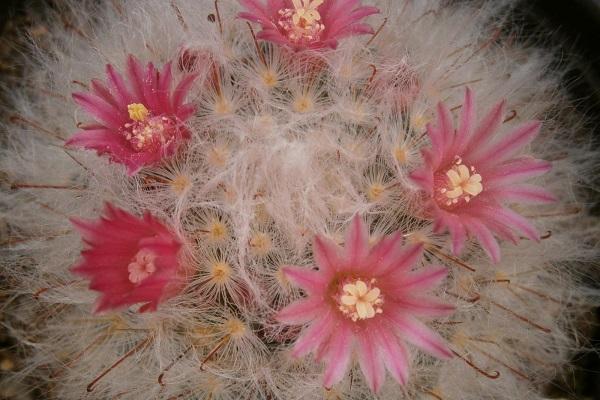 Pianta grassa con fiore Mammillaria Bocasana