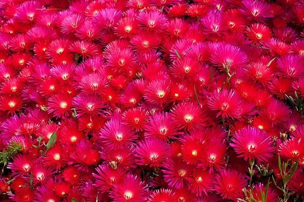 Pianta grassa con fiore Lampranthus rosso