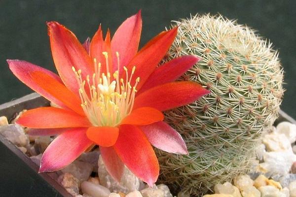 Pianta grassa con fiore Rebutia Heliosa