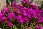 Pianta grassa Lampranthus viola