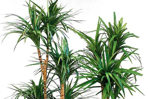 La dracena marginata è la pianta assorbi fumo per eccellenza