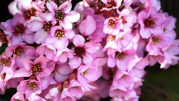 Come coltivare la Bergenia, il fiore di San Giuseppe