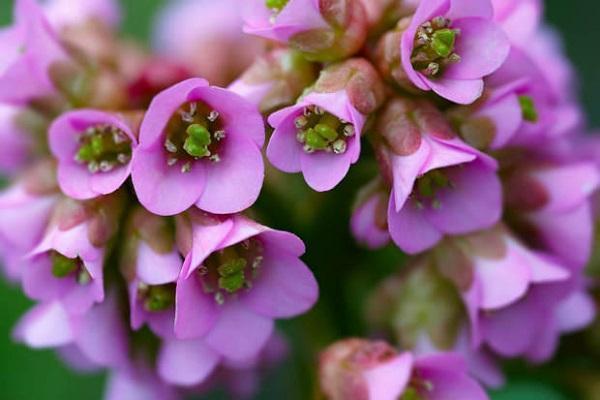 Fiori lilla di Bergenia