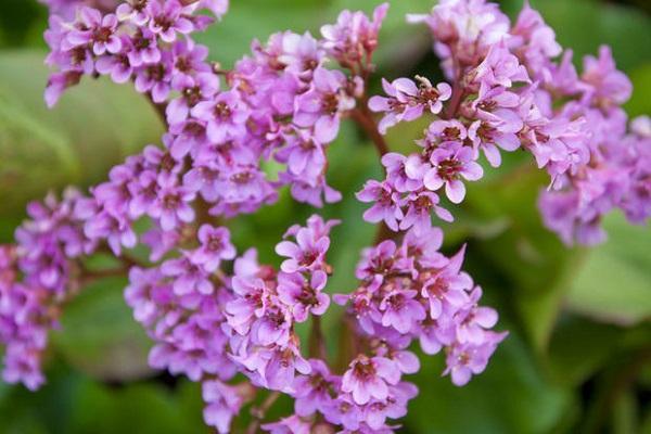 Rami fioriti di Bergenia