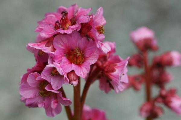 Mazzetto fiorito di Bergenia