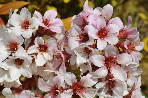 Fiori bianchi di Bergenia