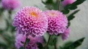 Crisantemi: consigli per coltivazione e cura