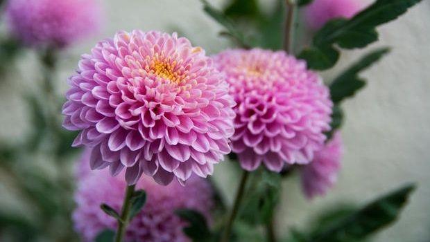 Consigli per la coltivazione e la cura del Crisantemo