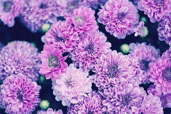 Crisantemo lilla da ftdflowers.com