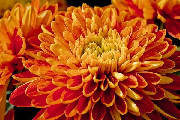 Crisantemo arancione da benevaflowers.com