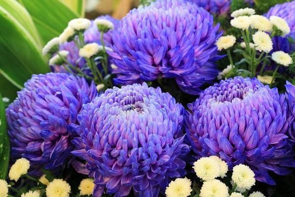 Crisantemo azzurro da flowermeaning.com