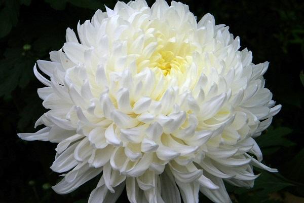 Crisantemo bianco da chrysantemums.org
