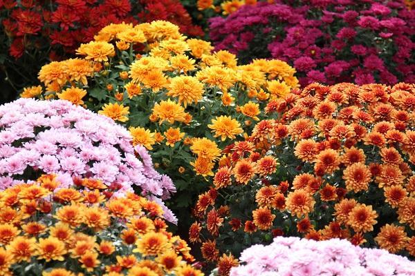 varietà di Crisantemo da easternfloral.com