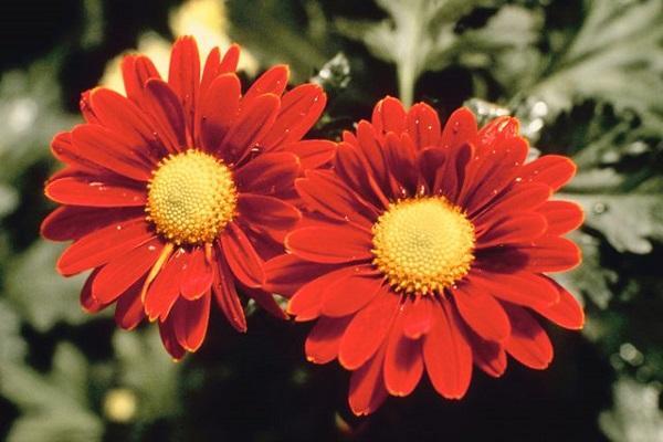 Crisantemo orientale Daisy da hunker.com