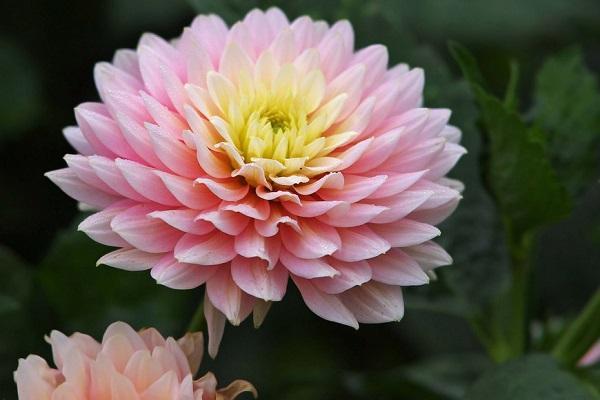 Crisantemo rosa da healthbenefitstime.com