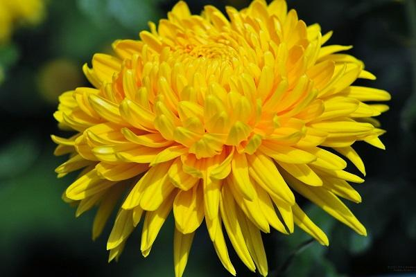 Crisantemo giallo da halthbenefitstime.com