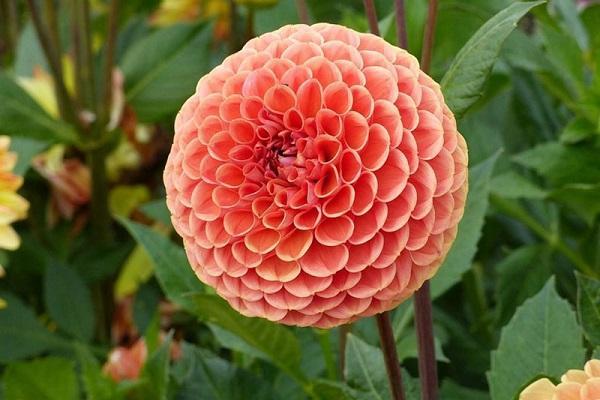 Crisantemo Pom pom da homyden.com