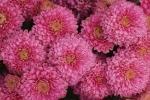 Crisantemo rosa da rhsadvice.com