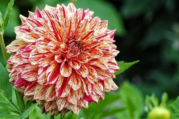 Crisantemo roso da peakpx.com