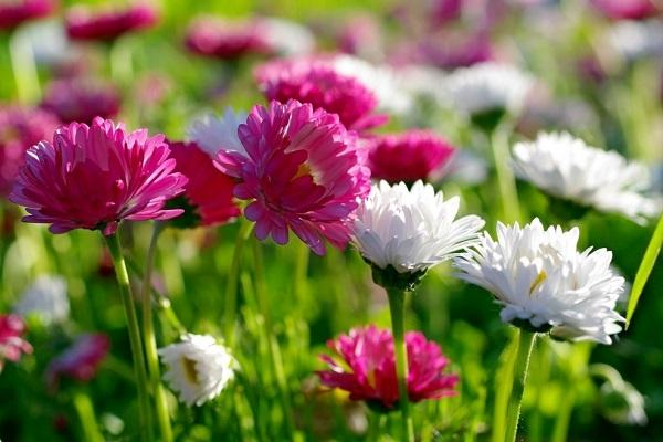 Boccioli di Crisantemo da typesofflower.com